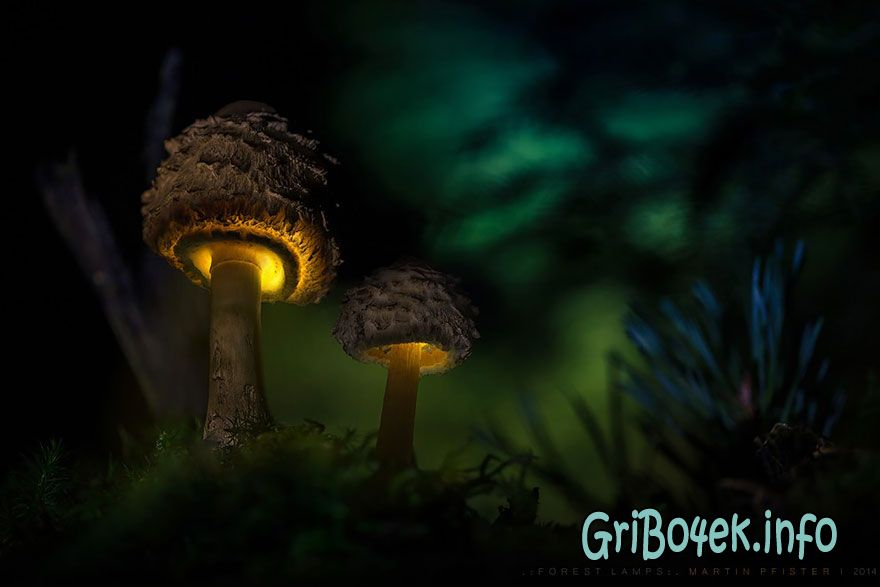 mushrooms martin pfister 14