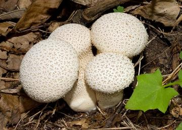 Calvatia-excipuliformis_02.jpg