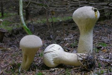 Calvatia-excipuliformis_04.jpg